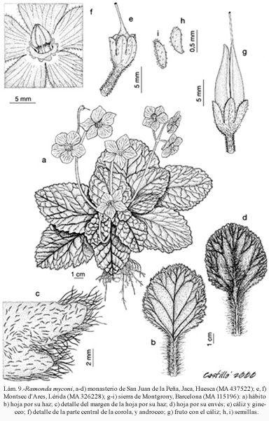 La famille des Gesnériacées est une famille de plantes dicotylédones. Selon Watson & Dallwitz elle comprend 2000 espèces réparties en près de 140 genres.  Rang : Famille Classification : Scrophulariales Sous-ordres : Episcia, Columnea, Alloplectus, Gloxinia, Cyrtandra