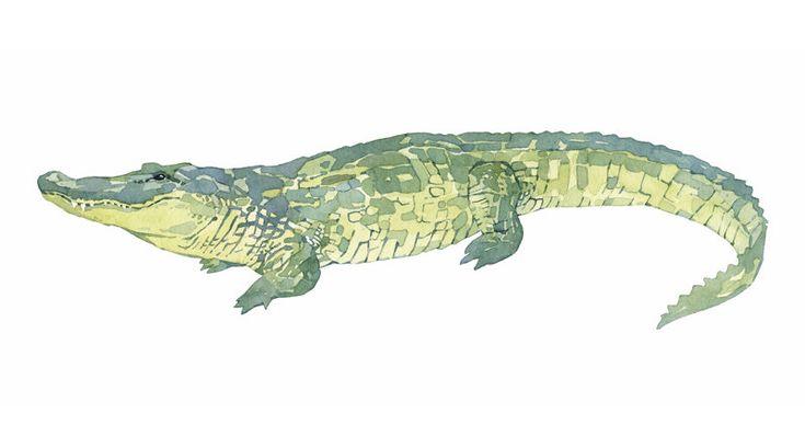 Mejores 49 imágenes de Otros reptiles en Pinterest | Cocodrilos ...