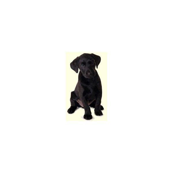 Black Labrador Retriever Puppies For Sale In DE MD NY NJ Philly DC and... via Polyvore