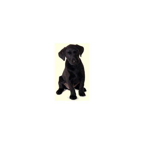 Black Labrador Retriever Puppies For Sale In DE MD NY NJ Philly DC and... via Polyvore