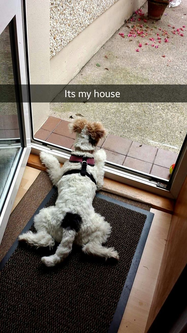 488 best Wire hair terriers images on Pinterest | Wire fox terriers ...