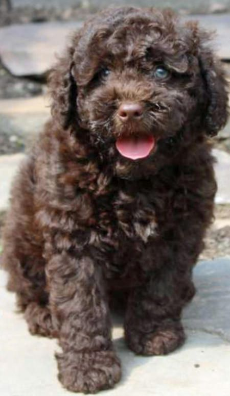 Shesco-the-Poodle-Mix The Daily Puppy