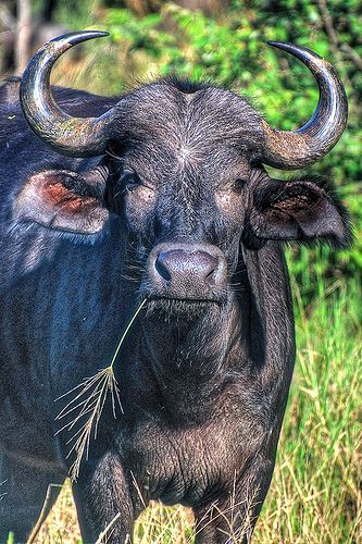 Water Buffalo - Kruger National Park, South Africa