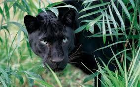 Bildresultat för panther
