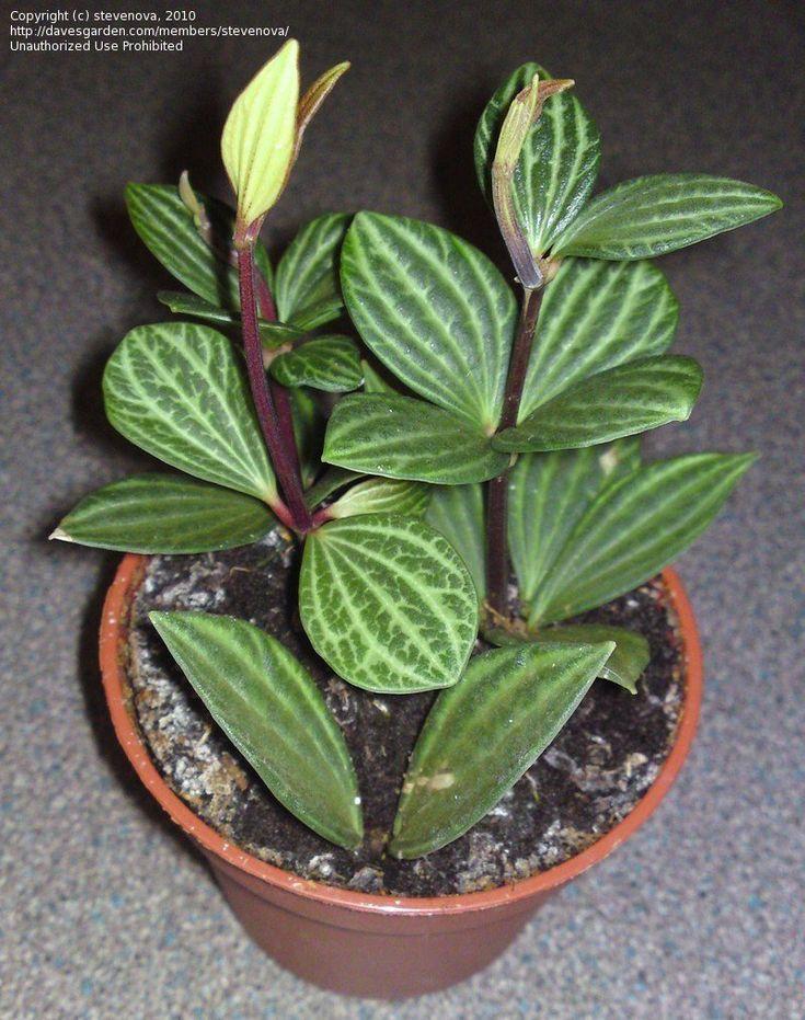 Peperomia Puteolata, linda variedad de peperomia en maceta,
