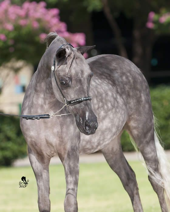 Miniature Horse, pretty little dapple grey. Pink flowers in the background. Beautiful horse!