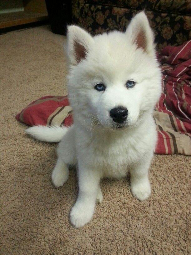 All White Siberian Husky Puppy Tala Siberianhusky Husky