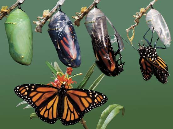 Photograph:A composite image shows part of the metamorphosis of a monarch butterfly, as it transforms from an inactive chrysalis, top left, to an adult butterfly, bottom. All butterflies have a four-stage life cycle, changing from an egg to a wormlike larva called a caterpillar, a pupa called a chrysalis, and finally an adult.