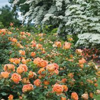 Best David Austin Roses for Southern California