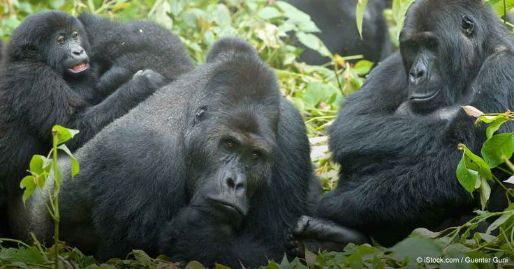 Grauer's gorilla is the world's largest primate. If their population continues to decline, they could disappear from most of their native habitat within 2 to 5 years. http://healthypets.mercola.com/sites/healthypets/archive/2016/08/30/declining-grauers-gorilla-population.aspx