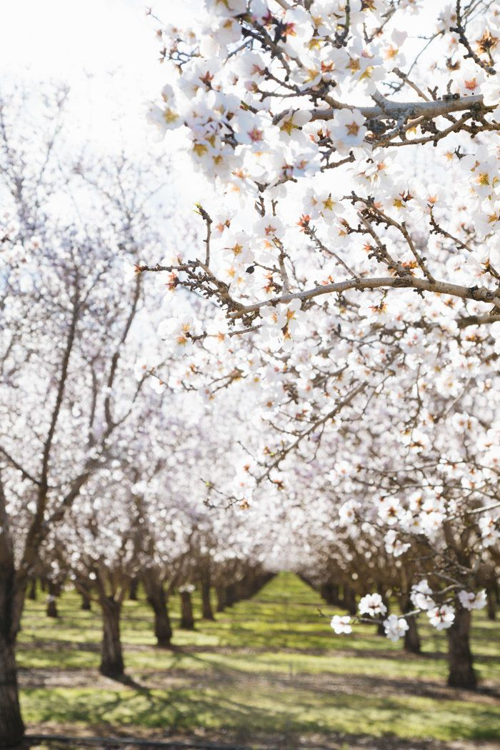 Almond Blossom Season Hither Thither Almond Blossom Beautiful Nature Wallpaper Blossom Trees
