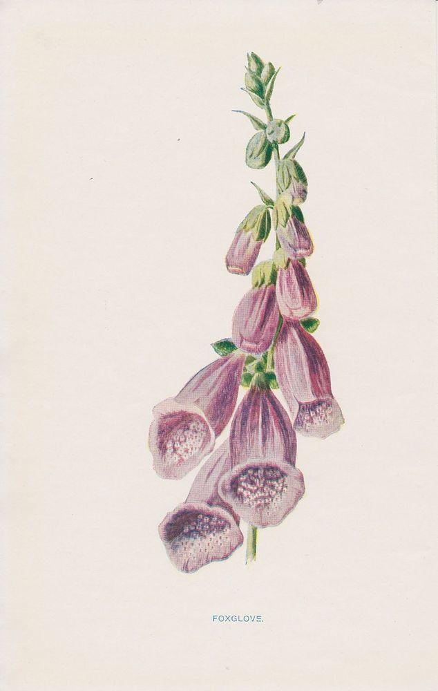 1897 antique Foxglove flower lithograph print by Hulme.