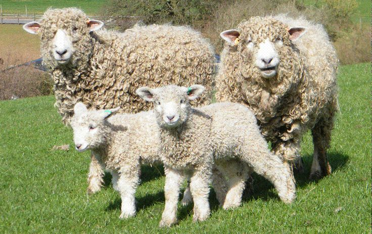 We get lots of Lincoln Longwool Sheep entered in to the Lincolnshire Show, visit the Lincoln Longwool Sheep Breeders website for info on Lincoln Longwool Sheep http://www.lincolnlongwools.co.uk/