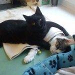 Egy lengyelországi állatközpontban él Rademenes, a fekete cica, aki odaadóan gondoskodik a műtéten átesett vagy beteg társain. Az aranyos ápoló