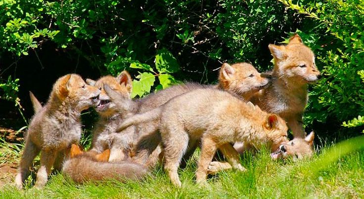 White Wolf : 42 Amazing Truths About Wolves Everyone Should Know Does only the mother take care of the pups? No. A wolf pack is not matriarchal the way a lion pride is, for example. All members of the pack care for the puppies, babysitting and regurgitating food for them once they are weaned.