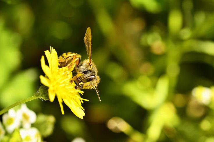 Wool carder bee on a dandelion flower. - Anthidium manicatum (f) - Female European wool carder bee on Taraxacum officinale - Dandelion.