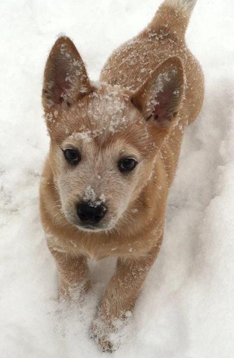 Red Heeler pup