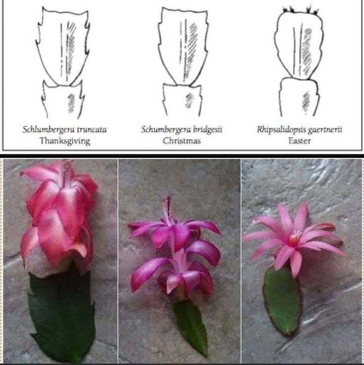 Difference Between Thanksgiving Christmas And Easter Cactus