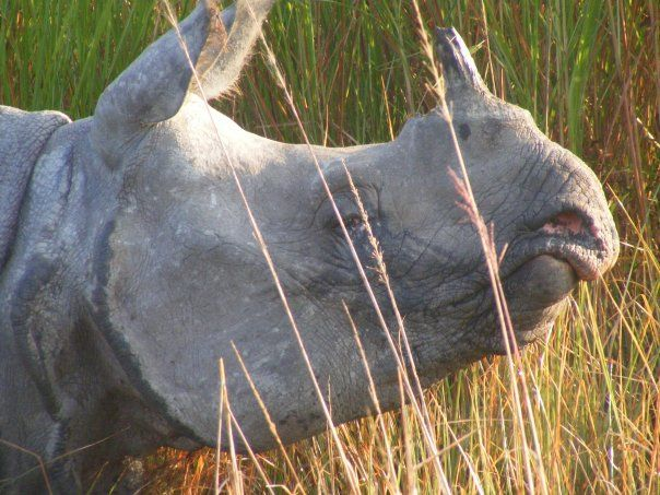 The One horned rhino - taken at kaziranga national park - assam