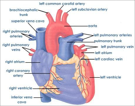 Learning about the human Heart | Medical :) | Pinterest ...