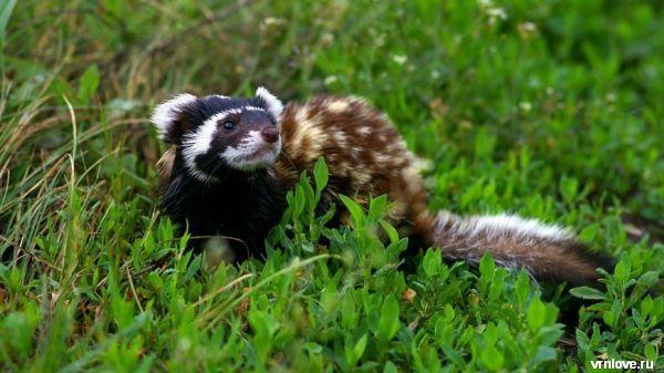 В Воронежской области нашли редкого зверька перевязку
