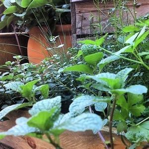 Herbs thriving in the backyard