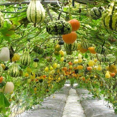 Hanging gourds!  Grow vine up around a trellis or structure to allow for use of space underneath
