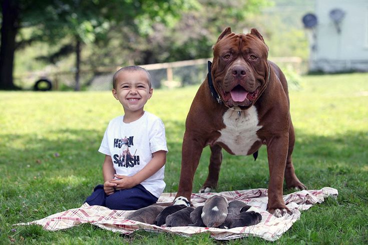 World Largest Pitbull ; Has 8 Puppies Worth Up To Half A Million Dollars