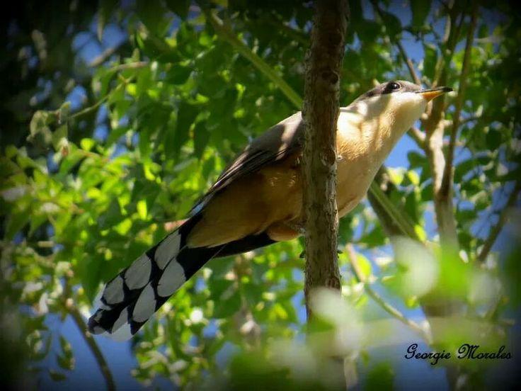 El Pájaro Bobo Menor (Mangrove Cuckoo) foto tomada en Rio Grande, P.R. Reside todo el año en Puerto Rico. Abunda y tiene una amplia distribución en la isla. Habita en el sur de la Florida, en Centroamérica, de Venezuela a Brasil y en casi todas las Antillas. Mide unas 13 pulgadas. Vive en bosques húmedos y secos, bosques secundarios, cafetales bajo sombra, manglares, y franjas espesas de bosque cerca de áreas urbanas. Se mueve entre el follaje denso, enredaderas y bejucos en búsqueda de…
