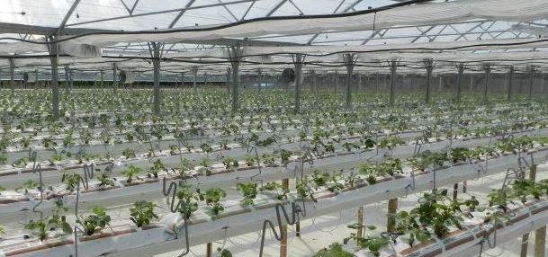 """Un'estensione 2000mq ca. interamente dedicata alla coltivazione della fragole, tramite la tecnica del """"Fuori Suolo""""... abbiamo alzato la terra!"""