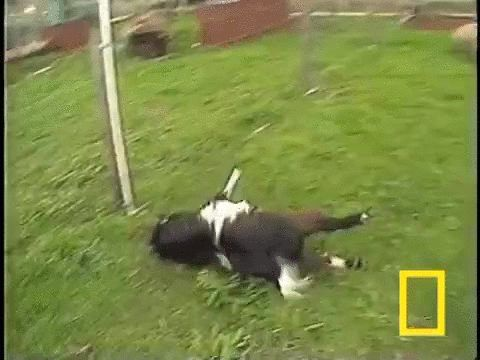 When Fainting goats feel panic their muscles can freeze for up to ten seconds. http://ift.tt/1NtkfA0