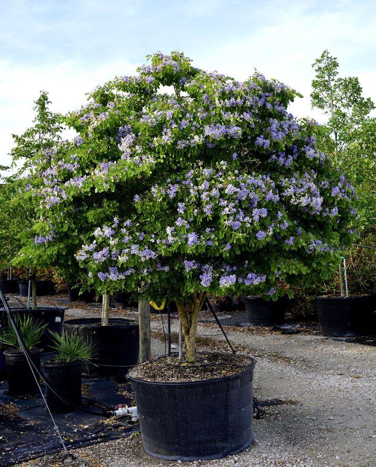Гваяковое дерево фото