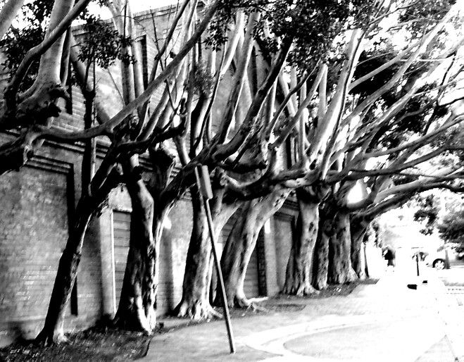 A row of Moreton Bay fig trees.  Outside Marrickville Metro Sydney. By Natalie Hitoun photography.