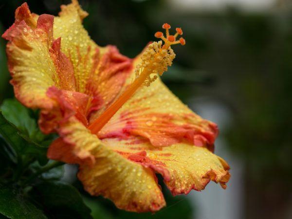 Bei solchen Traumblüten wird klar, warum der Hibiskus zurecht eine der beliebtesten Pflanzen weltweit ist.