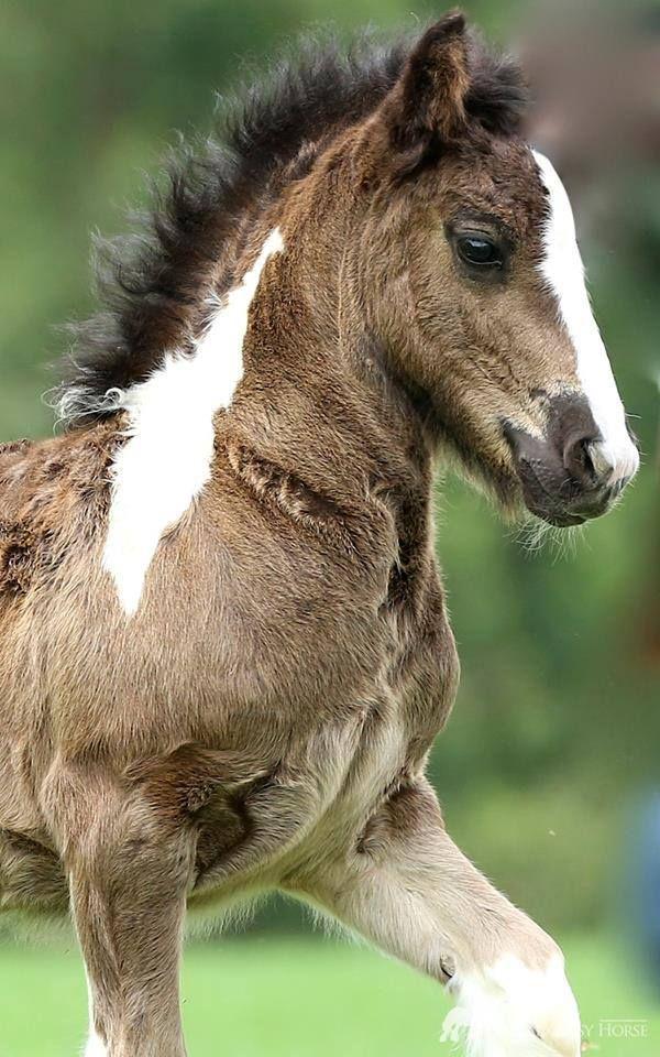 """scarlettjane22: """"  Photo from Royal Gypsy Horse Cowboy Magic  """""""