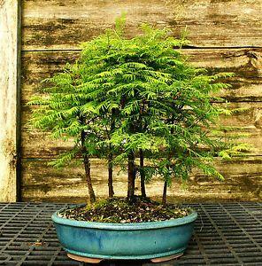Bonsai Tree Dawn Redwood Grove DRG5-502C