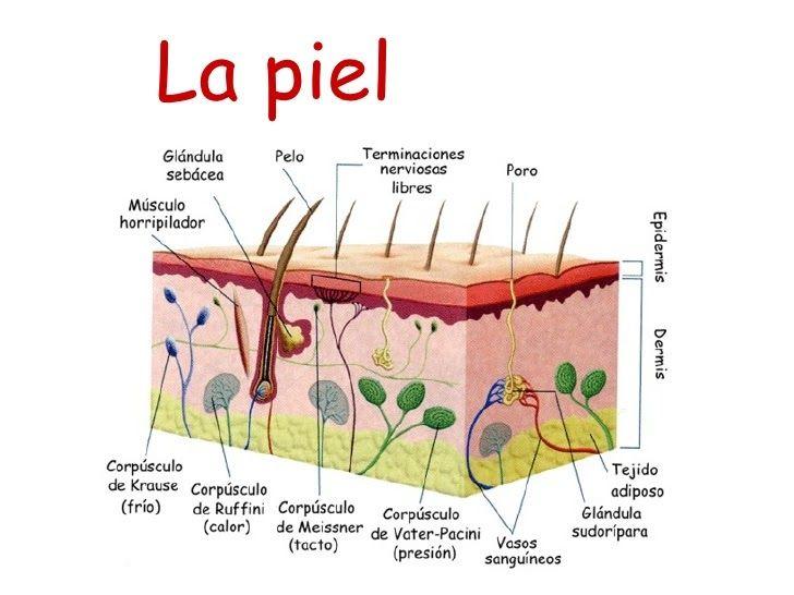 Explicacion Sobre Los Receptores De La Piel Anatomia De La Piel Capas De La Piel Piel