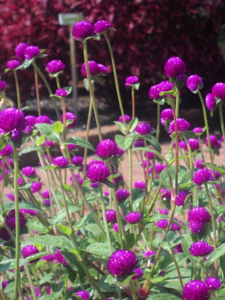 Purple Globe Amaranth- beautiful! I wonder if this will grow in NM