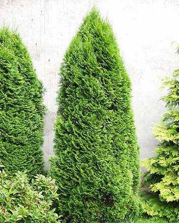 Туя западная Columna. Прекрасное дерево высотой 3-4 м, диаметр кроны до 1,5 м. Ежегодный прирост в высоту 15 см, шириной 5 см. Крона коническая, густая. Хвоя чешуйчатая темно-зеленая блестящая, сохраняет окраску зимой. Шишки редкие продолговато-яйцевидные, длиной около 1 см, коричневые. Используется в одиночных посадках, в группах, живых изгородях, аллеях. К почвам нетребовательна, но предпочитает плодородные. Может переносить сухость почвы и избыточное увлажнение.Морозостойкая.