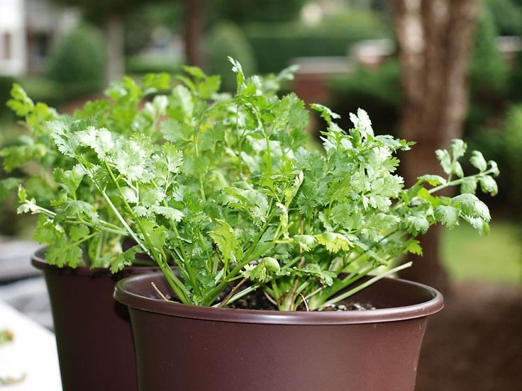 Cilantro is used in many dishes, but despite popularity, you do not see cilantro growing in the home garden as much as you do other herbs. Although thought difficult to grow, it is not. This article can help.