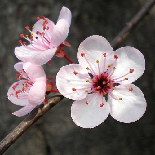 Flores Ciruelo / Flowers                                                                                                                                                      Más