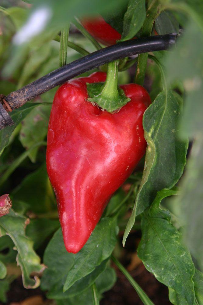 Capsicum annuum - growing in plant in your graden http://www.growplants.org/growing/capsicum-annuum