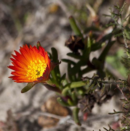 Flowers (Fynbos)9799_ Fisherhaven, Western Cape, South Africa