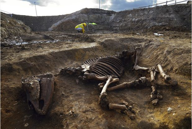 DISCOVERY: The 2,000 year old skeleton of a Roman horse was found at the Biomedical Campus in Cambridge                                                     Picture courtesy of the Cambridge Archaeological Unit