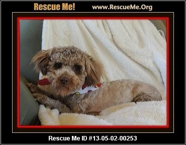 ohio poodle rescue � adoptions � rescuemeorg puppies