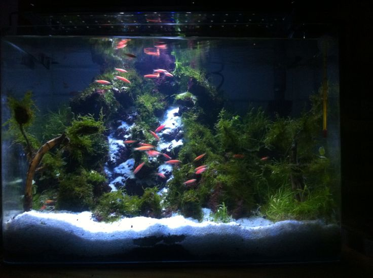 Sudah masuk moss & ikan Zebra Danio (Brachidanio rerio)