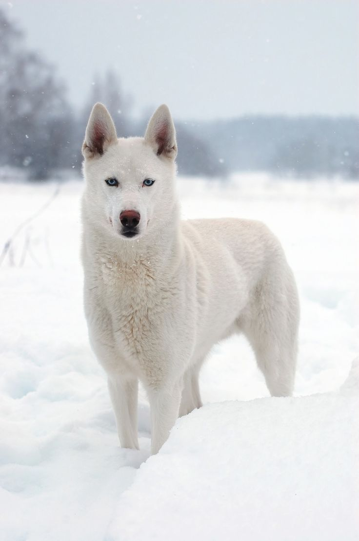 White Husky. Dog Lover?