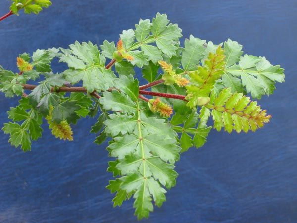 Weinmannia trichosperma | Trees | Patagonia Plants