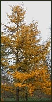 Japaninlehtikuusi - puulajipuisto