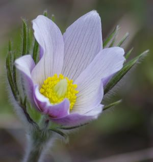 Prairie Crocus - provincial flower of Manitoba My dad was a great walker and every spring he would walk out on the prairies and pick the first crocus he found to bring home to my mom